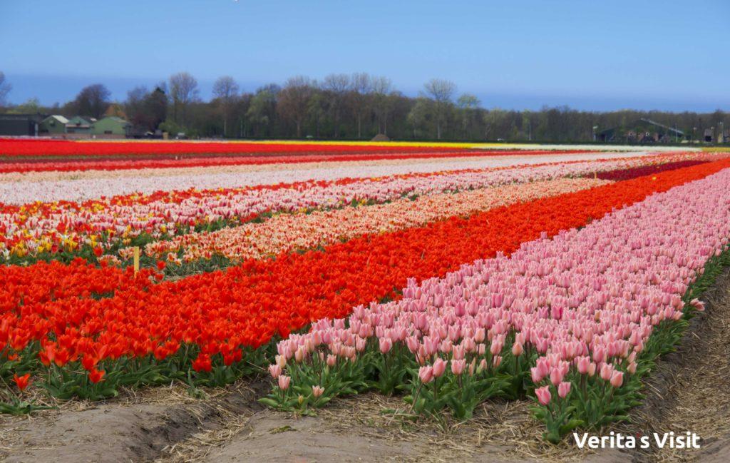 tulip fields in between Amsterdam & Leiden tour groepsreis Verita's Visit