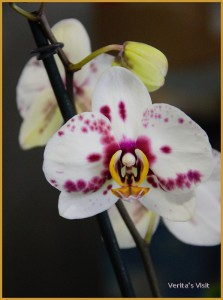 An orchid grown in Holland-veritasvisit