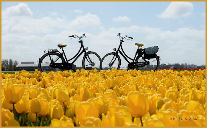 Bike tulip fields Netherlands-veritasvisit