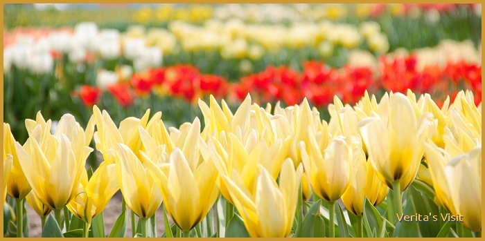 In Holland you can spot many different tulip varieties in the area around Keukenhof