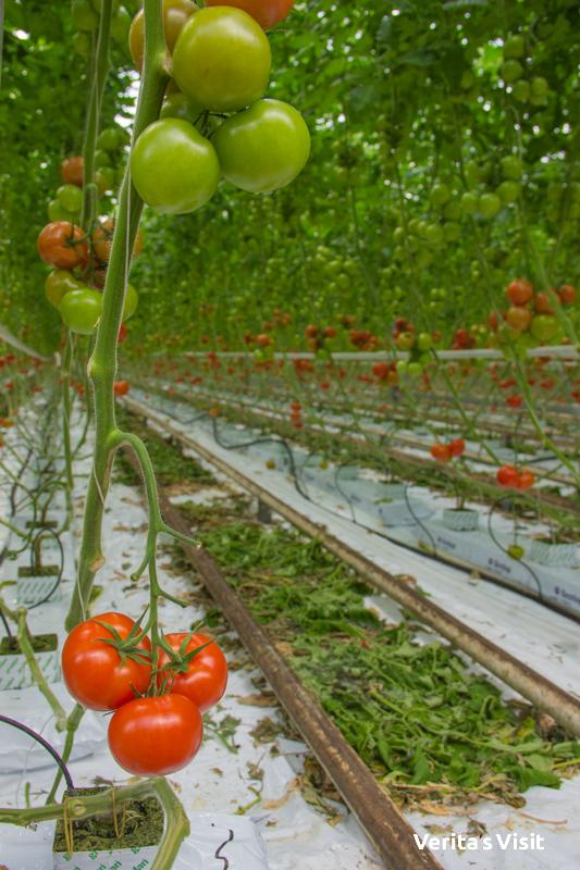 private tour greenhouse prive kassen Den Haag Westland teambuilding Verita's Visit