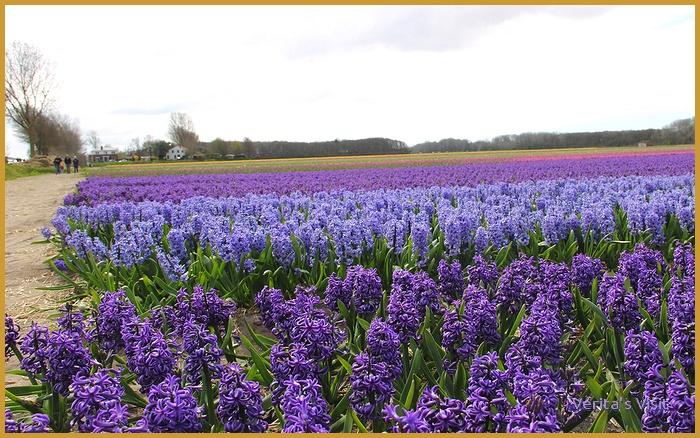 Hyacinth field the Netherlands Keukenhof area-veritasvisit