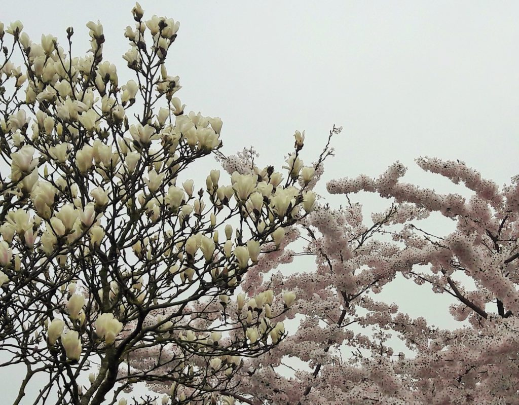 tulip tree & magnolia connection Verita's Visit Holland