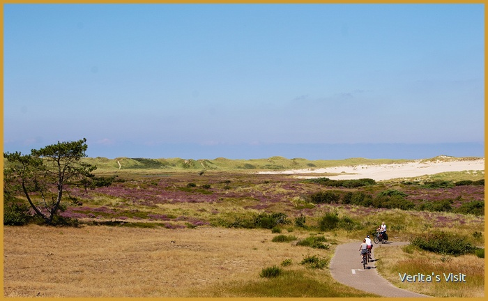 Cycling through the Dutch dune landcape filled with heather