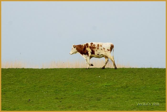 Life gets back to normal. Here's a poor lonesome cow on a long long way from home.