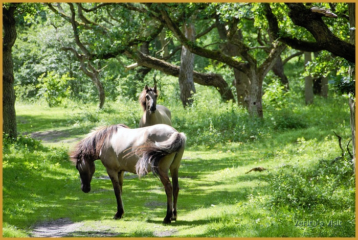 Wild horses Meijendel dunes Hague area-veritasvisit