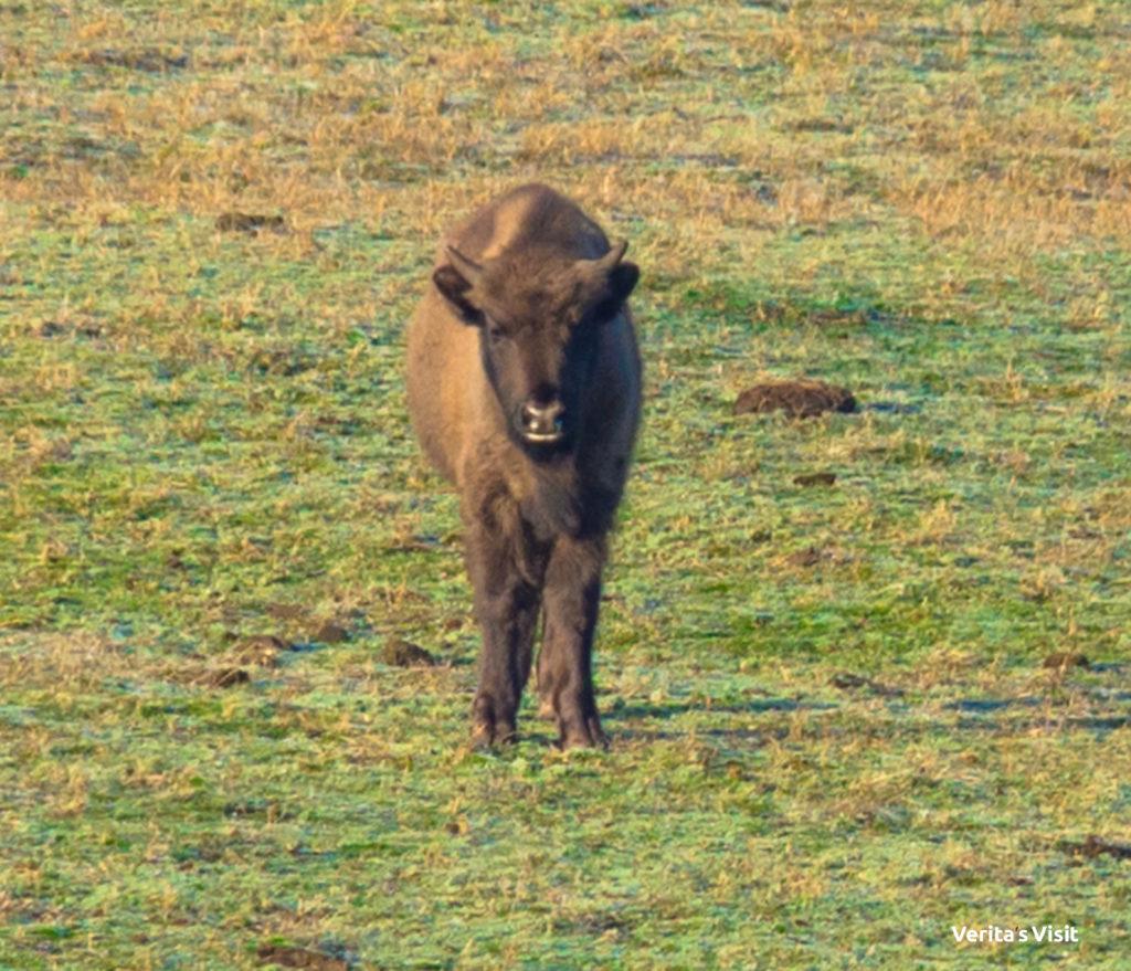 baby bizon track Verita's Visit activity Holland