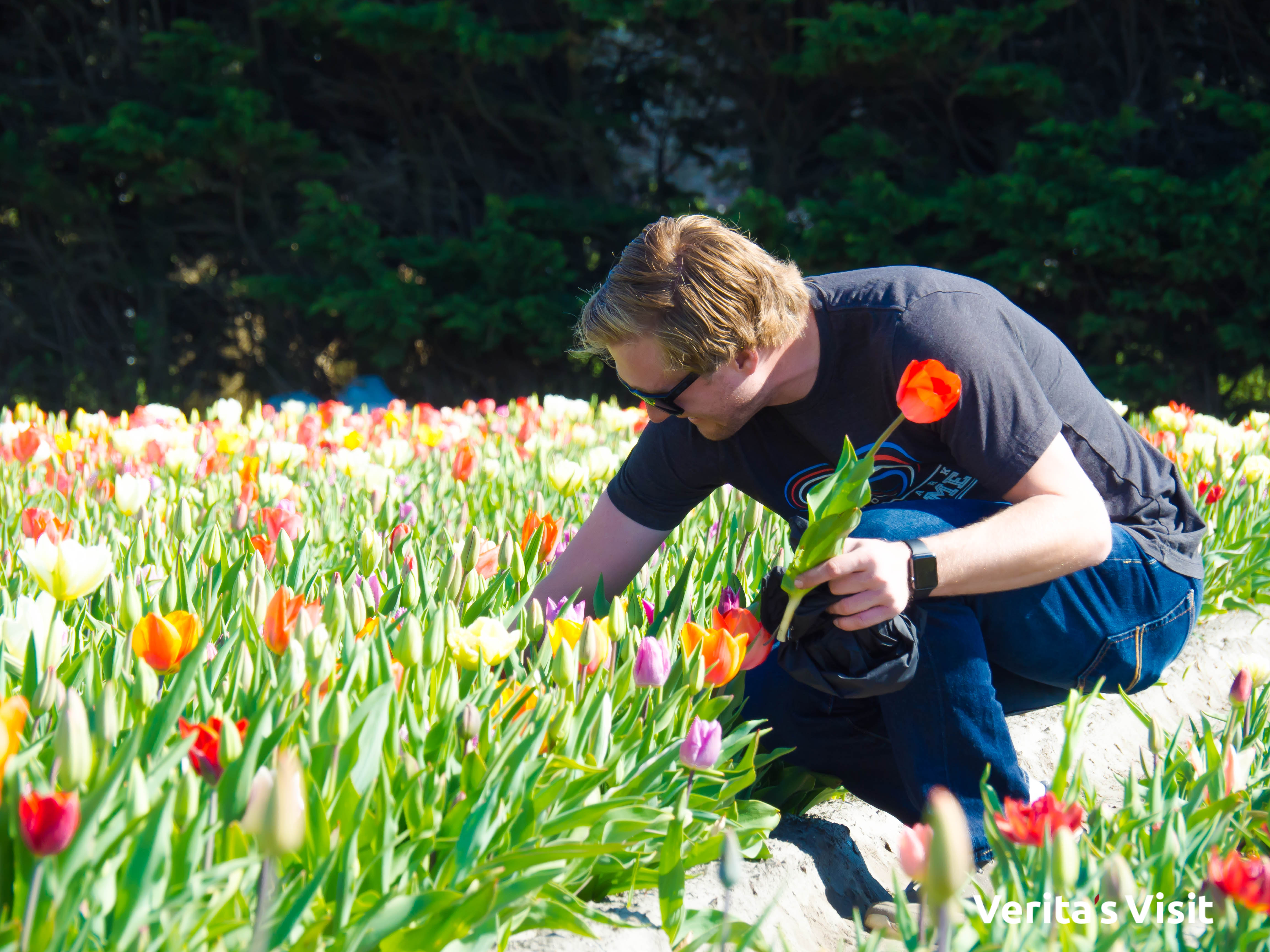 Tulip picking tour Verita's Visit tulpen plukken fietstocht
