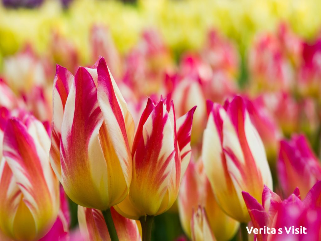 tulip bike tour en bici tulipanes Holanda Dutch fields tulpen fietstocht Verita's Visit Holland