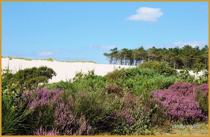 heather dunes Schoorle duinen national park Holland-veritasvisit