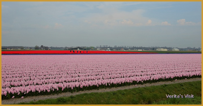 On a day out in the tulip fields all your senses are tickled.