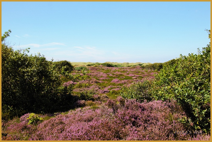 National phenomenon in August in the Dutch national park near Amsterdam