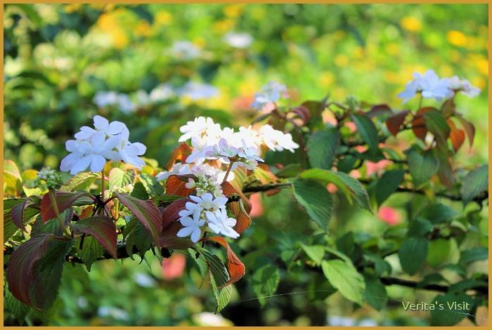 witte bloesem -veritasvisit