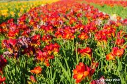 summer bloom Holland flower field best time Keukenhof visit